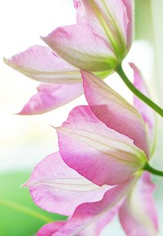 Clematis Light |  by Creature Comforts
