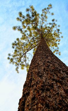 Tahoe Tree (NANPA) | Flickr - Photo Sharing!