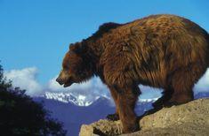landscape nature animal bear wildlife mammal fauna brown bear vertebrate bison grizzly bear cattle like mammal