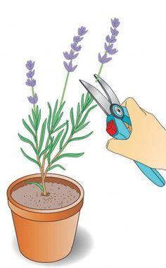 Jungpflanzen mehrmals stutzen    Wenn die jungen Lavendel angewachsen sind und austreiben, sollten Sie die neuen Triebe mehrmals mit der Gartenschere stutzen. So bleiben die Pflanzen kompakt und verzweigen sich gut. Im Spätsommer vermehrte Lavendel können Sie bereits im Frühling aus den Töpfen ins Beet umquartieren. bei der Frühjahrsvermehrung sollten Sie damit bis zum Frühsommer warten. Erst dann sind die Töpfe gut durchwurzelt.