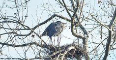 Pair of blue herons in their nest.