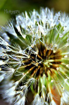 Dandelion in Morning Dew Dandelion Clock, Dandelion Wish, Dandelion Seeds, Shooting Star Wish, Dandelion Designs, Morning Dew, Leaf Jewelry, Water Drops, Make A Wish