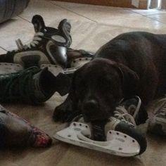 A true hockey dog