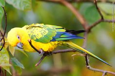 """Sulphur-breasted Parakeet (Aratinga maculata) """"A species of parrot from Brazil and Suriname. Some believe the sulphur-breasted parakeet is better regarded as a subspecies of the sun parakeet."""" (Wikipedia)"""