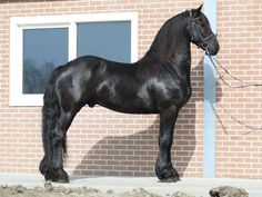 Friesian Gelding for sale Friesian Horse For Sale, Andalusian Horse, Some Beautiful Images, Horses For Sale, Horse Breeds, My Ride, Horseback Riding, Grey Horses, English Bull