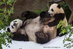 San Diego Zoo Pandas Get a Snow Day