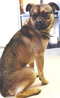Southern, NH - Pug Mix. Meet Romeo, a puppy for adoption. http://www.adoptapet.com/pet/12294553-southern-new-hampshire-pug-mix