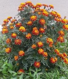 Home Medicine, Herbal Medicine, Alzheimers Poem, Natural Health Remedies, Beauty Recipe, Medicinal Plants, Good Advice, Flower Pots, Garden Landscaping