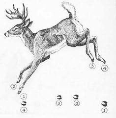SNAIL'S TALES: Deer tracks in snow