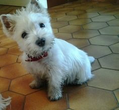 "westie - just in from ""exploring"" the back yard?"