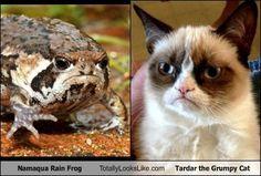 Namaqua Rain Frog Totally Looks Like Tardar the Grumpy Cat