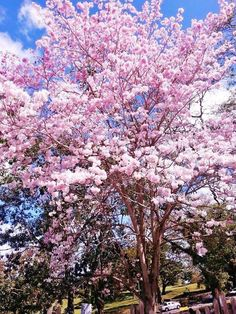 Poui trees are in full blossom in Trinidad