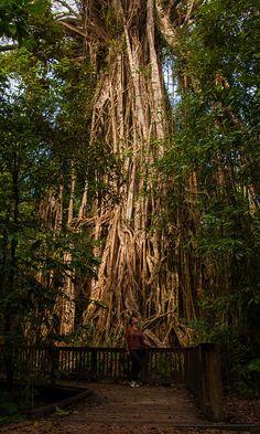 big strangler fig  tree