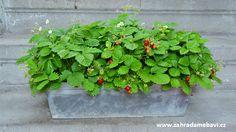 Wild strawberries in a pot Wild Strawberries, Window Sill, Garden Pots, Strawberry, Plants, Compost, Garden Planters, Window Frames, Strawberry Fruit