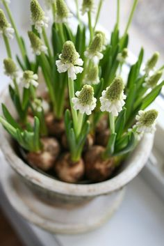 White Spring bulbs  ~ lovingly repinned by www.skipperwoodhome.co.uk