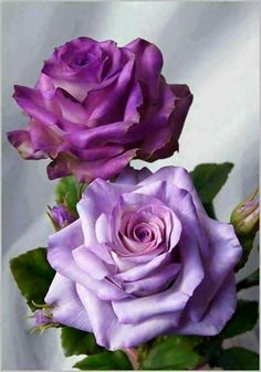 Garden Flowers Day Beautiful World: Purple Roses Or Lilac Roses? Lavender Roses, Purple Roses, Blue Orchids, Purple Lilac, Silver Roses, Yellow Flowers, Bloom, Rosa Rose, Coming Up Roses