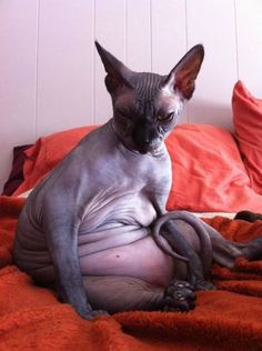 The fattest, freakiest Sphinx cat. I'm pretty sure this is what my Maddie would look like if she were hairless.