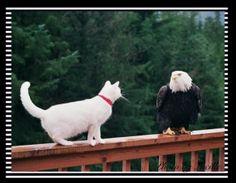 eagle and cat | Bald Eagle vs. Bambi