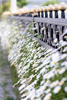 daisies on my way by cafe noHut, via Flickr