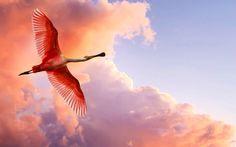 flamingos | ... Spoonbill Flamingos HD wallpaper - The Roseate Spoonbill Flamingos