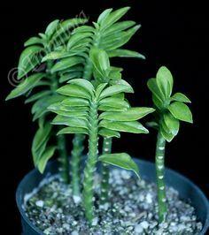 Pedilanthus Tithymaloides 'Nana'