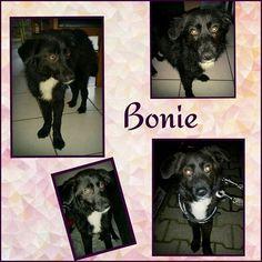 Bonie ist gut auf ihrer Pflegestelle angekommen.  Sie ist ein 8 Monate altes Mädchen mit einer Schulterhöhe von 38 cm.  Bonie ist erst zurückhaltend dann aber neugierig und offen. Sie  mag Kinder und ist verträglich mit Hunden und Katzen. Bonie ist geimpft und gechipt. Sie wird nur nach Vorkontrolle und Schutzvertrag vermittelt.  Unsere Anzeigen sind tagesaktuell. Anfragen bitte NUR telefonisch Mo-Di u. Do-Sa unter 49 162 247 15 87 v. 10-13 u. 15-18h | Mo-Do u. Sa unter 49 1514 1671913 v…