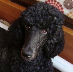 Candy kisses! sweet standard poodle face