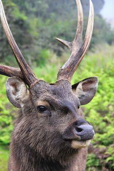 #Cerf #nature - venez les découvrir près de l' #aubergelasapiniere durant notre offre de séjour #brameducerf #ariege renseignements 05 61 05 67 90