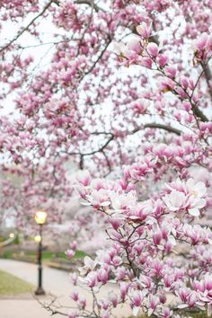 Blooming magnolias in New York City's Central Park. #newyork #springinnewyork #magnolias Floral Photography, Travel Photography, New York City Central Park, Spring In New York, Magnolias, Flower Market, Pretty Pastel, Watercolor Illustration, Pastels