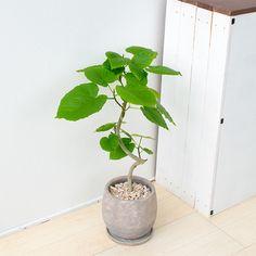〈ウンベラータ〉と言う名前を聞いても、どんな植物か想像出来ないという方も、この大きなハートの形の葉っぱは見たことがあると言う方も沢山いらっしゃるのではないでしょうか。 華奢で湾曲した幹も魅力の一つだと思います。