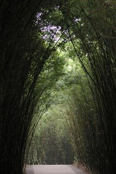 Bamboo arches as a tall plantation of bamboo arch over a forest walk under the green leaves, receding perspective - free stock photo from www.freeimages.co.uk