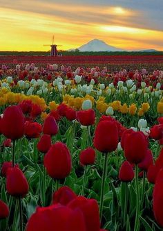 Morning at the Wooden Shoe Tulip Farm in Woodburn, Oregon