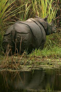 Rhino at Chitwan National Park, Nepal