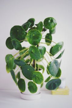 Pilea peperomioides (called elephant ear in Sweden), photo by Ninnie Södergren
