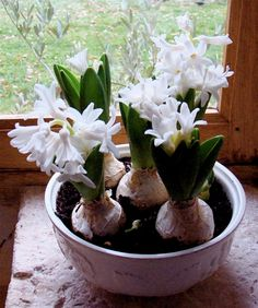 I love to force Spring Bulbs Indoors! Hyacinths smell so good! from Linda Swatez