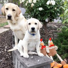 sending our serious thanks to our amazing furriends Bori Sunny & Juni for our Mr. Chickens!  @borithegoldenfamily it's important to surround yourself with genuine sweetness and that's exactly what we see in your mom  by theblondebondteam