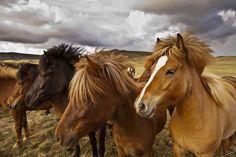 Icelandic Horses ... by Iurie Belegurschi, via Flickr