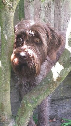 Senna ~ Wirehaired Pointing Griffon Pup ~ Classic Look
