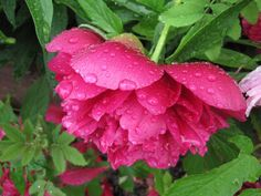 https://flic.kr/p/AJYZQ3 | Red flower and green leafs with raindrops SOOC | This photo is captured with my old Canon Powershot D 10 and unedited. SOOC! For such a old camera i really like the details from it. It was a really rainy day on midsummer 2015 so my only waterproof camera was in the bag.  This is just an upload to show the quality from an old Canon ;0)    Enjoy!   // Joakim   jberndes.se