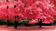 Nature Sakura Autumn Wallpaper Autumn Wallpaper For Desktop