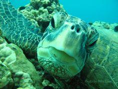 www.arribadas.com, Como se desarrolla la pasion por las tortugas marinas, bueno un dia cuando crees que el universo es de tal manera y caminas por la playa y te tropiezas con una grande o pequeña y googleas tortugas marinas y te enteras de su vida migratoria, universo tortuga y cuando te das cuenta eres un nuevo tortugologo que acaba de nacer. Bienvenido a casa nuevo tortugologo!! investiga sobre Archie Carr, Peter Pritchard  Douglas Robins