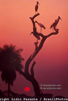 storks in the sunset, Pantanal, Brazil ~ UNESCO World Heritage Site