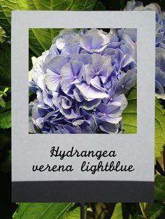 ハイドランジア(ヴェレナライトブルー)#flower #shop #matilda #中目黒