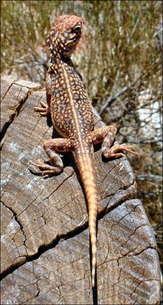 Central Netted Dragon, or Ctenophorus nuchalis. An inhabitant of the plains and open scrubs of central Australia, from Western Australia coast to western New South Wales and Queensland