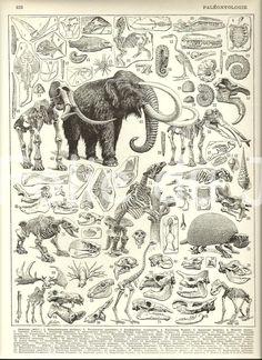 Vintage Dinosaur Paleontology mammoth skeleton poster illustration from a Vintage French Larousse Dictionary poster 1930. $15.00, via Etsy.