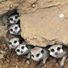 Meerkat Line-Up too cute All Gods Creatures, Cute Creatures, Beautiful Creatures, Animals Beautiful, Animals Amazing, Animals And Pets, Baby Animals, Funny Animals, Cute Animals