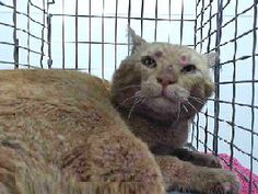 """injuries on face. SEAACA HIGH KILL. DOWNEY, CA., ALL ANIMALS HAVE A """"DUE OUT BY"""" DATE."""