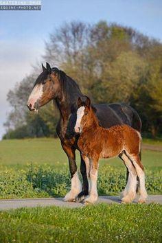 Belgian mom & foal :)