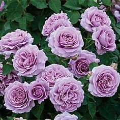 Love Song™ Landscape Rose - I cannot wait for mine to flourish next spring!