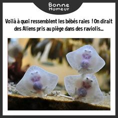 Is see your adorable baby stingray and i raise you multiple baby stingrays. They look like aliens trappes in ravioli Ravioli, Baby Stingray, Cute Baby Animals, Funny Animals, Animal Babies, Animal Memes, Animal Facts, Wild Animals, Animal Pictures